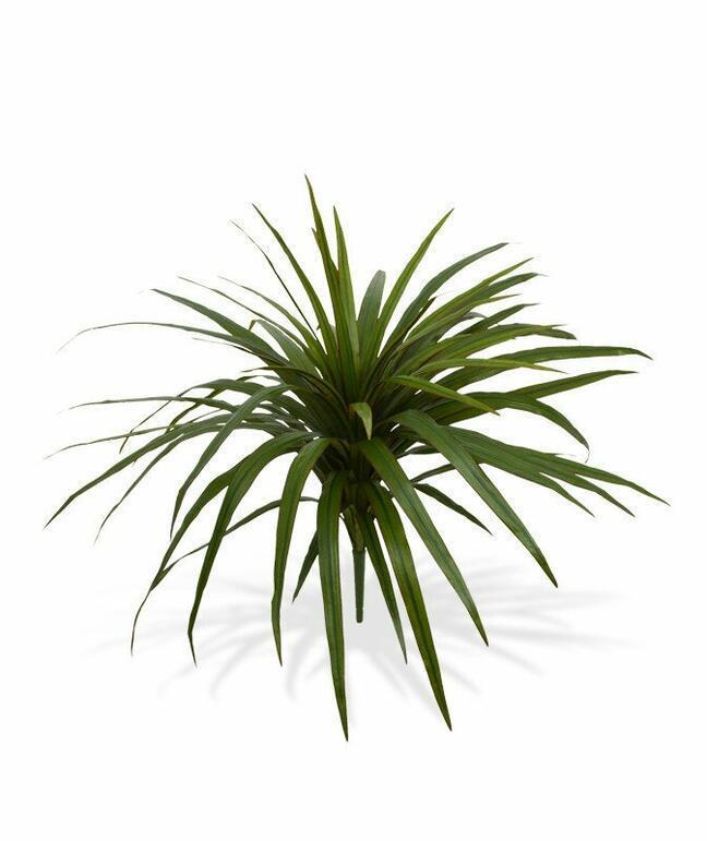 Künstliche Dracena-Pflanze gefüttert mit 50 cm